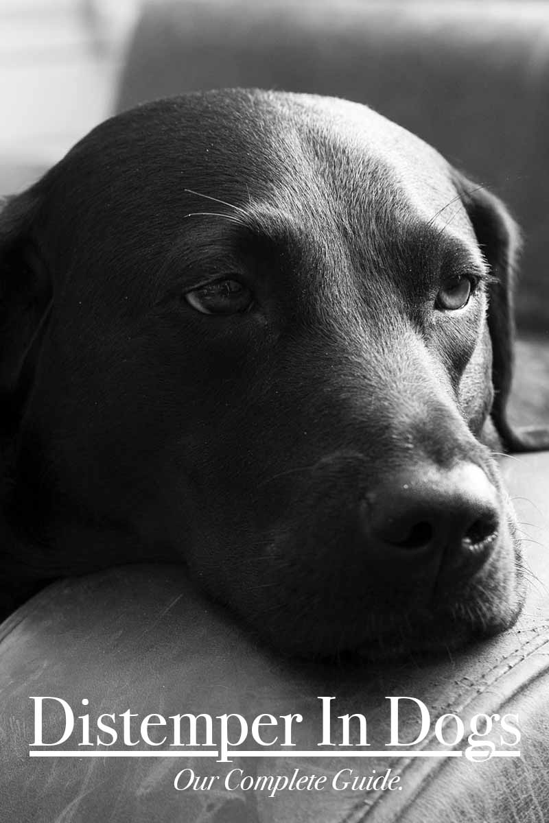 Our complete guide to Distemper in Dogs. A dog health guide.