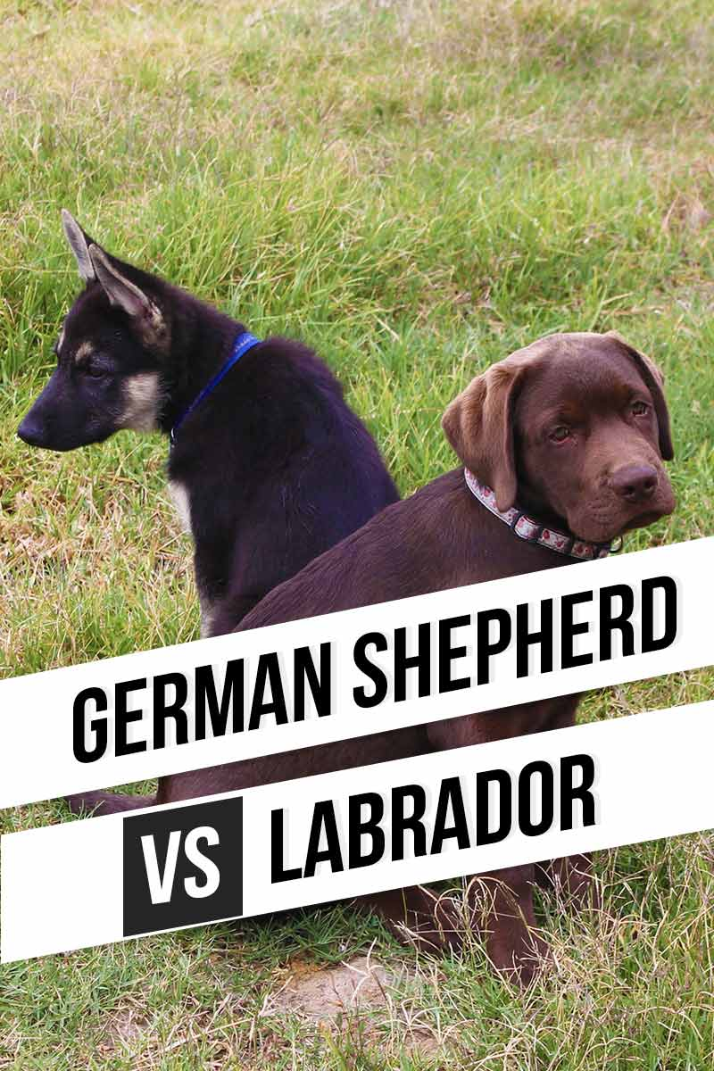 German Shepherd vs Labrador, which is better? -  Dog breed review.
