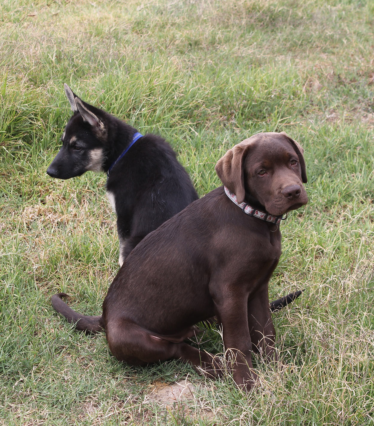 german shepherd vs labrador
